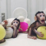 Cloned monkeys Zhong Zhong and Hua Hua are seen at the non-human primate facility at the Chinese Academy of Sciences in Shanghai, China January 20, 2018, in this picture provided by Chinese Academy of Sciences and released by China Daily.  China Daily via REUTERS  ATTENTION EDITORS - THIS IMAGE WAS PROVIDED BY A THIRD PARTY. CHINA OUT.